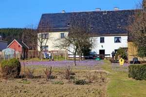 Krokusse in den Vorgärten in Drehbach im Erzgebirge
