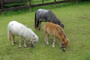 Minipony im Zoo in Aue