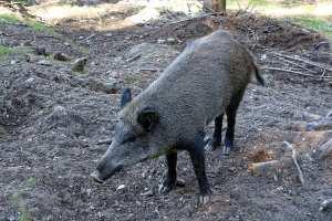 Wildschwein im Erzgebirge